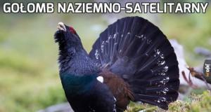 Gołomb naziemno-satelitarny