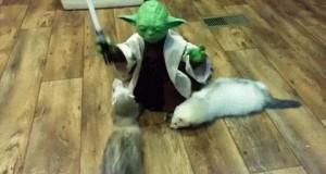 Mistrz Yoda młode fretki trenuje