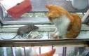 Żyć jak... kot z myszą?