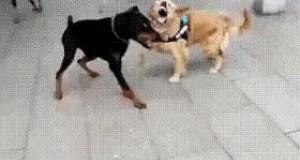 Pies Chucka Norrisa w akcji