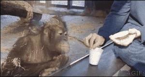 Reakcja orangutana na magiczną sztuczkę