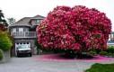 Studwudziestopięcioletni Rododendron