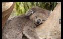 Miś koala śpi 22 godziny