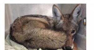 Kojot w domu: żona trolluje męża