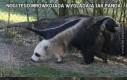 Nogi tego mrówkojada wyglądają jak panda
