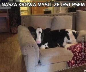 Nasza krowa myśli, że jest psem