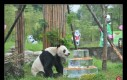 30 grudnia zmarł Pan Pan, najstarsza panda świata
