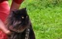 Koteł Chewbacca