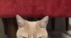 Japoński Grumpy Cat
