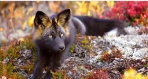 Majestatyczny czarny lis jest majestatyczny