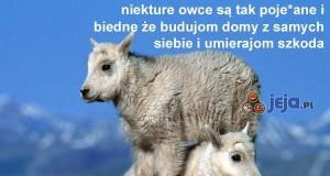 Smutny jest żywot owcy