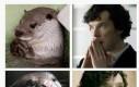 Czy wiesz, że Benedict Cumberbatch potajemnie jest wydrą?