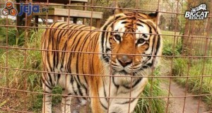 Tygrys, który mści się za umieszczenie w ZOO