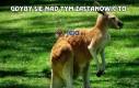 Kangur i pewne cechy wspólne