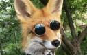 Stylowy lis