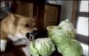 Złe warzywo