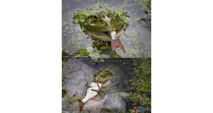 Sprytna żaba