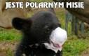 Jestę polarnym misię