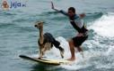 Surfing lama