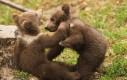 Wojna niedźwiadków