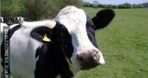 Te krowy i ich problemy...