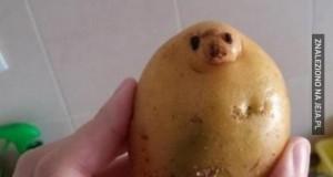 Kartofel foka