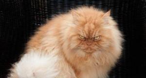 Wiecznie zły kot