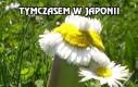 Tymczasem w Japonii, po awarii reaktora atomowego w Fukushimie
