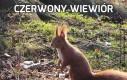 Czerwony wiewiór