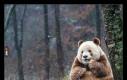 Qizai - jedyna brązowa panda na świecie