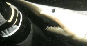 Gatunek rekina z głębi oceanu
