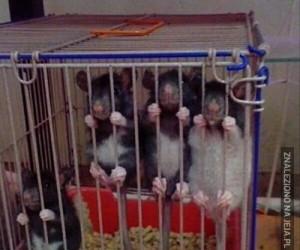 Szczur w klatce