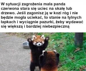 POTĘŻNA panda