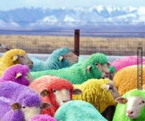 Kolorowe owieczki? Mmmm...