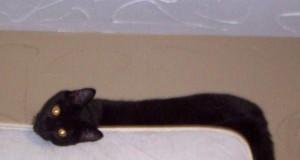 Wąż kotowy