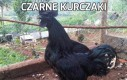 Czarne kurczaki