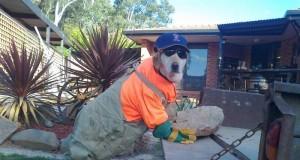 Pies budowlaniec
