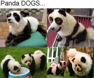 Panda-pies