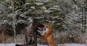 Lis i pies - najlepsi kumple