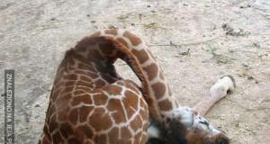 Śpiące żyrafy