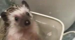 Jeżyk w kąpieli