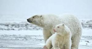 Niedźwiedź polarny albinos