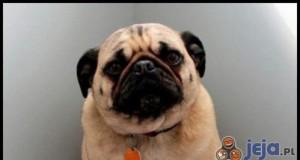 Pies, który zjadł kredki