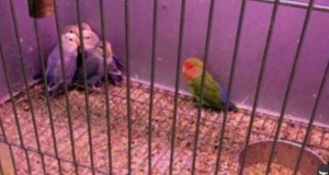 Rasizm wśród ptaków