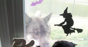 Kot nie był zadowolony z odwiedzin wilka