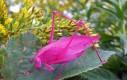 Różowy konik polny