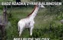 Bądź rzadką żyrafa albinosem