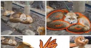 Muskularnych zwierząt kontynuacja
