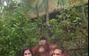 Ten orangutan wie, jak pozować