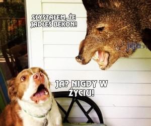 Pies kontra dzik